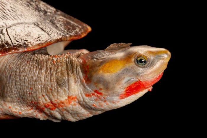 Photo: A painted sideneck turtle, Emydura subglobosa, at the Sedgwick County Zoo.