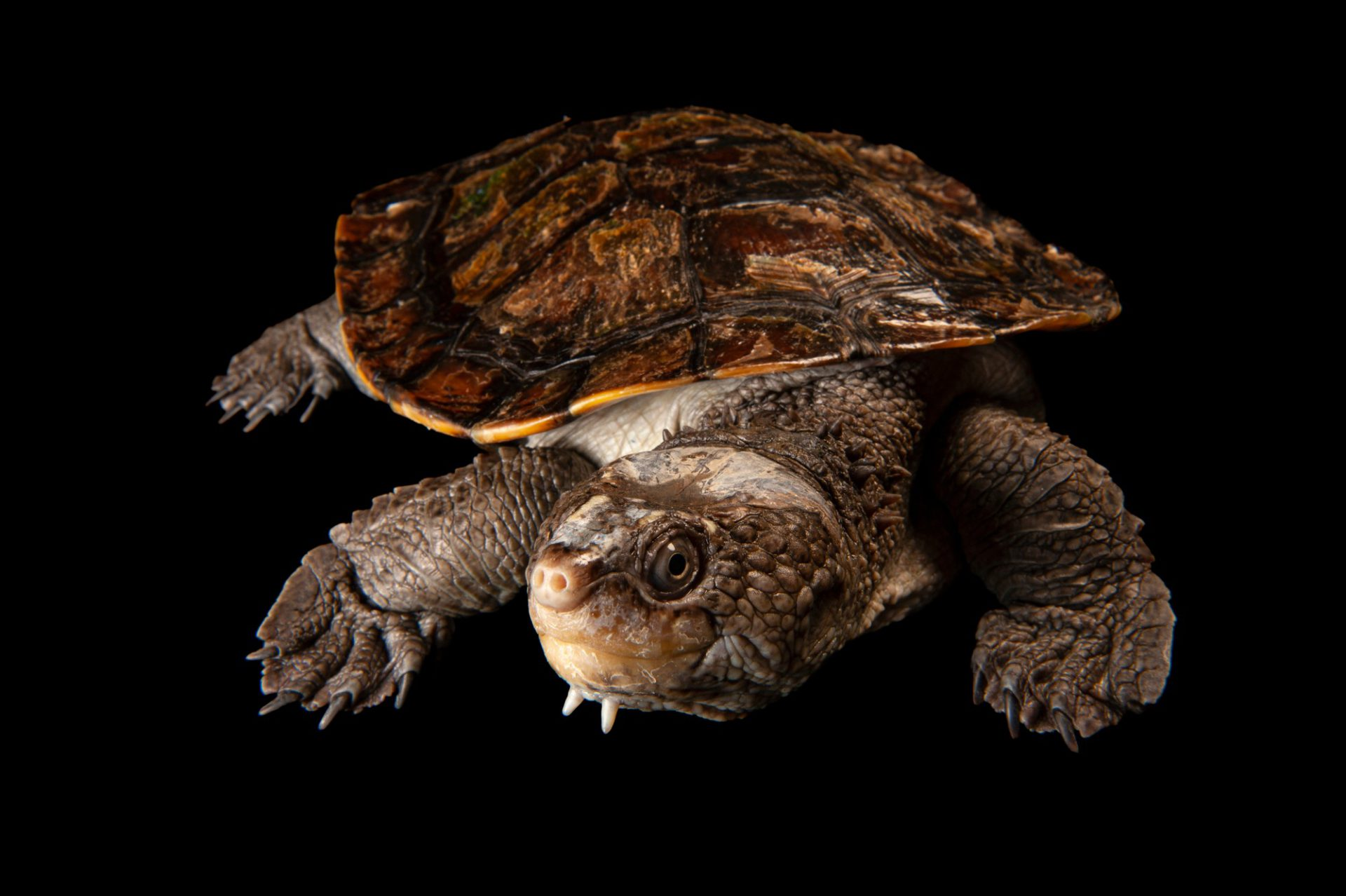 Photo: A serrated snapping turtle, Elseya latisternum, at the Sedgwick County Zoo.