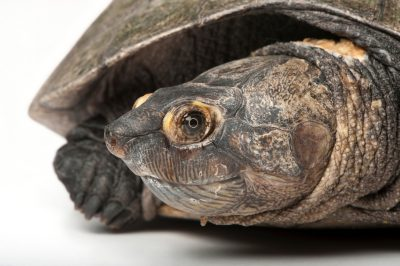 Photo: A critically endangered Madagascar big-headed turtle (Erymnochelys madagascariensis) at the Houston Zoo.
