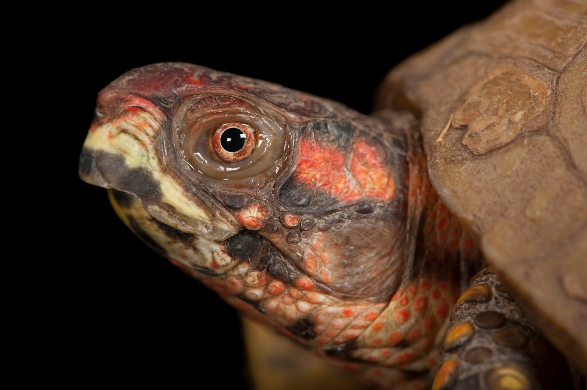 Photo: A three-toed box turtle (Terrapene carolina triunguis) from the Houston Zoo.