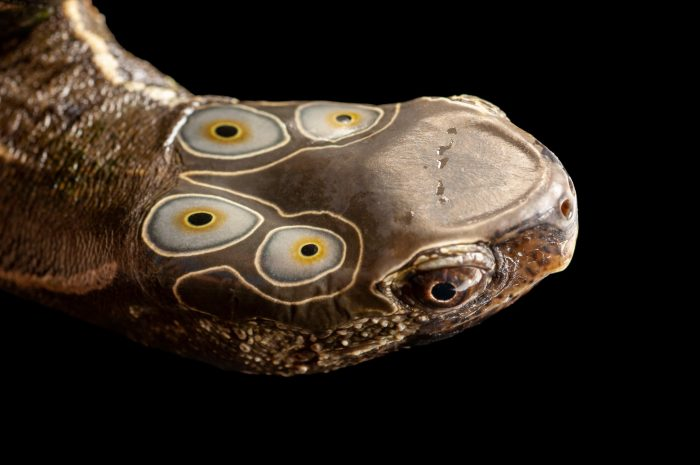 Photo: An endangered four-eyed turtle (Sacalia quadriocellata) at the Tennessee Aquarium.