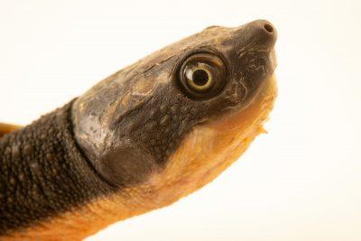 Photo: A side neck turtle (Elseya schultzei) in Jakarta, Indonesia in the care of PT. Alam Nusantara Jayatama.