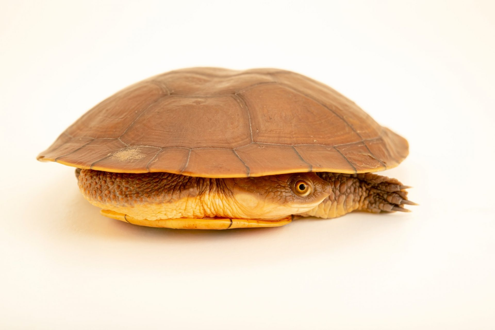 Photo: A Steindachner's turtle (Chelodina steindachneri) at a private collection in Jakarta, Indonesia.