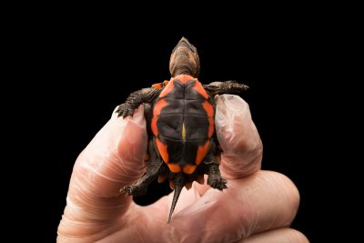 Photo: Two week old Keeled box turtle (Cuora mouhotii) at the Houston Zoo.