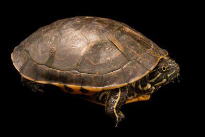 Photo: A male western chicken turtle (Deirochelys reticularia miaria) at the Houston Zoo.