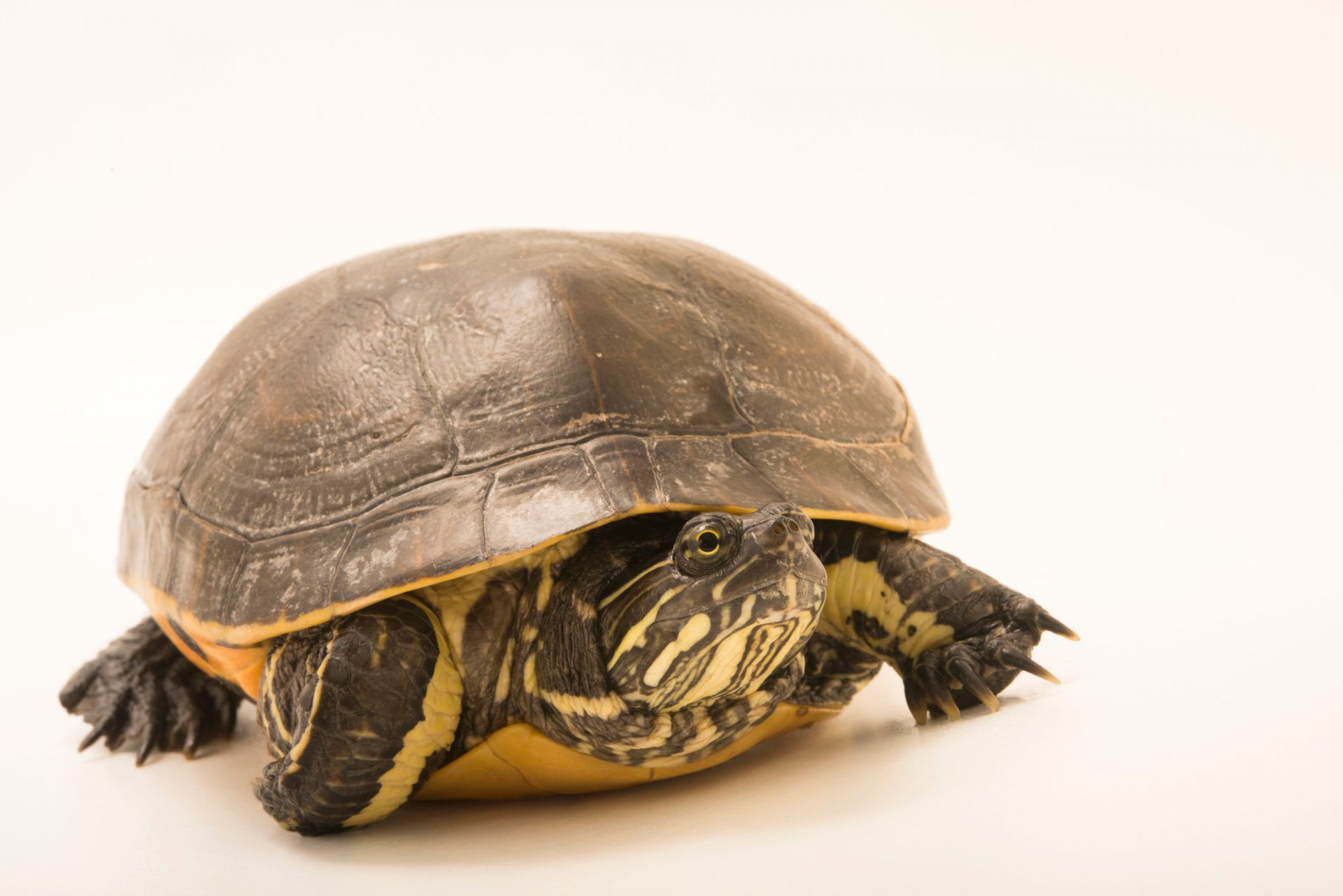 Photo: A male western chicken turtle (Deirochelys reticularia miaria) at the Houston Zoo.