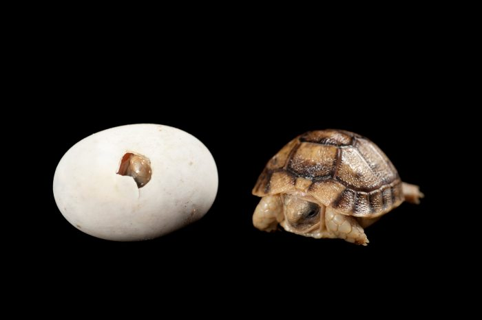 Photo: A critically endangered Kleinmann's tortoise, Testudo kleinmanni, egg and baby at the Woodland Park Zoo.