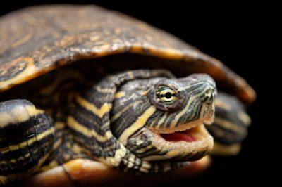 Photo: A Meso-American slider (Trachemys scripta venusta) at the Chapultepec Zoo in Mexico City.