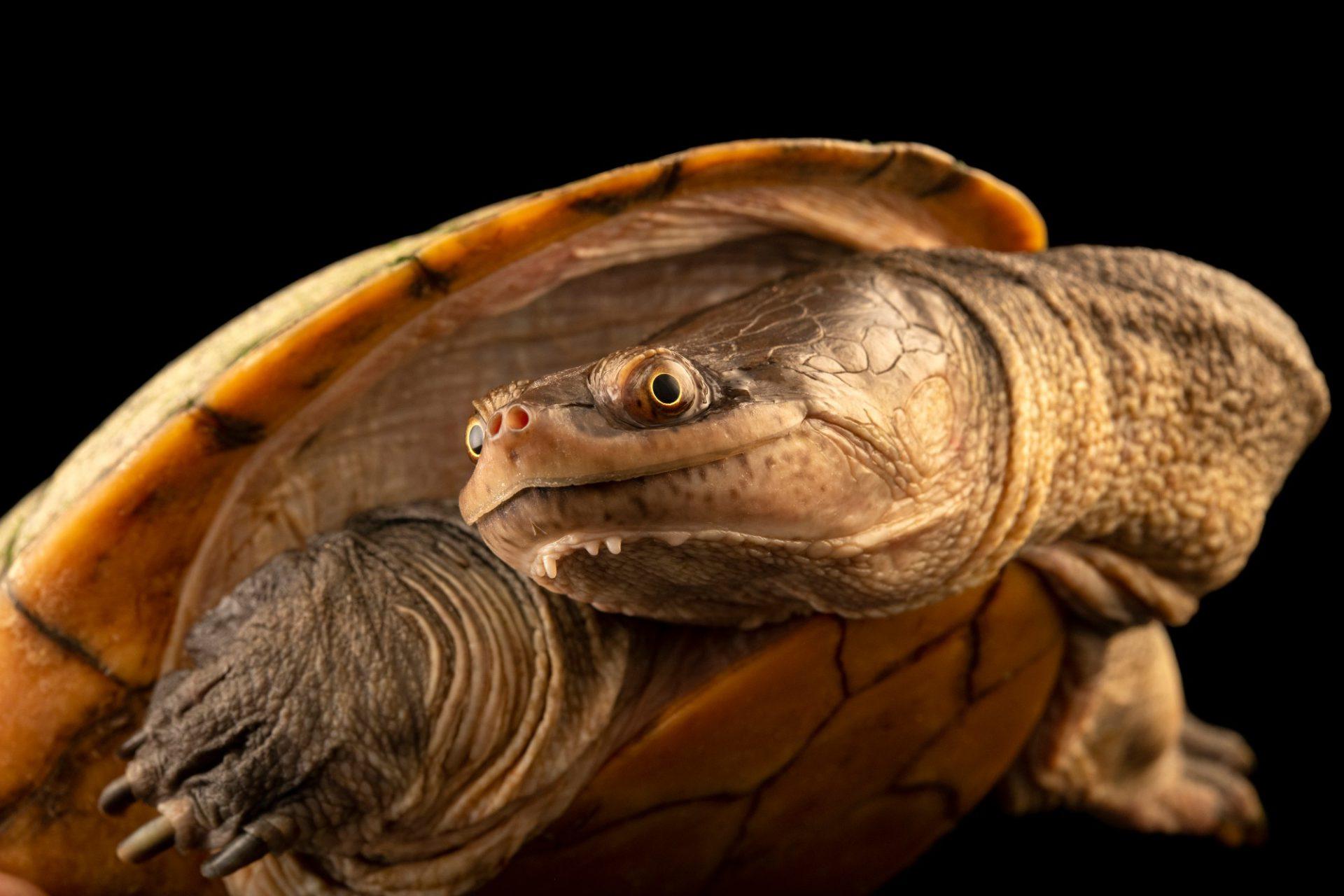 Photo: A critically endangered timor snake-necked turtle (Chelodina mccordi timorensis) at Ragunan Zoo in Jakarta, Indonesia.
