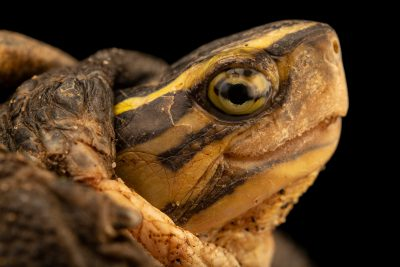 Photo: An Asian box turtle (Cuora amboinensis couro) at Ragunan Zoo in Jakarta, Indonesia.