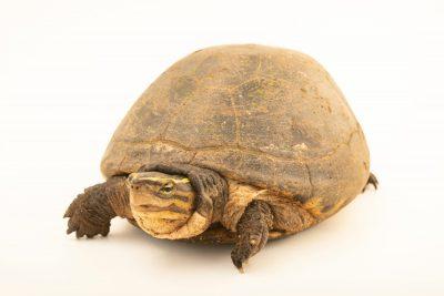 Photo: An Asian box turtle (Cuora amboinensis couro) at Ragunan Zoo in Jakarta, Indonesia.