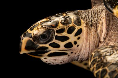 Photo: A critically endangered hawksbill sea turtle (Eretmochelys imbricata bissa) at Semirara Marine Hatchery Laboratory in the Philippines.