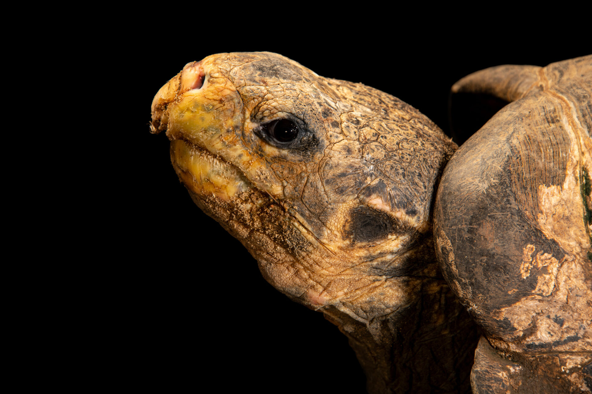 Photo: A Duncan Island giant tortoise (Chelonoidis duncanensis) at the Prague Zoo.