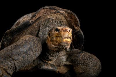 Photo: A Duncan Island giant tortoise (Chelonoidis duncanensis) at the Prague Zoo.