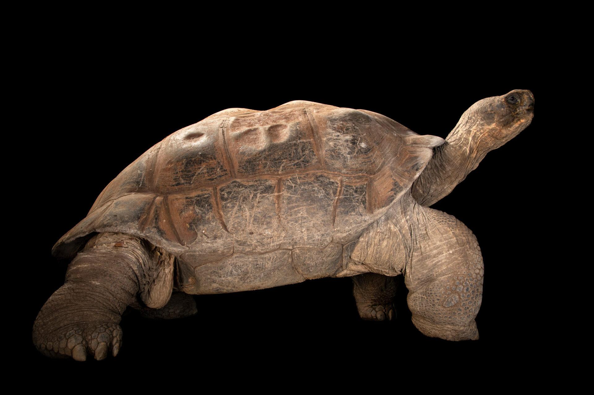 Photo: A Santa Cruz Galapagos tortoise (Chelonoidis porteri) at the Prague Zoo.