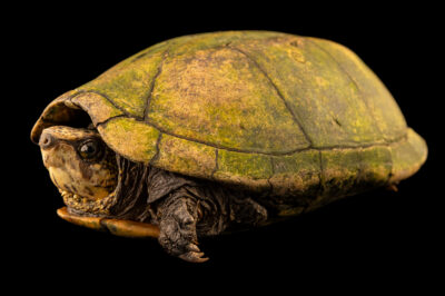 Photo: A scorpion mud turtle (Kinosternon scorpioides scorpioides) at Fundacao Jardim Zoologico de Brasilia.