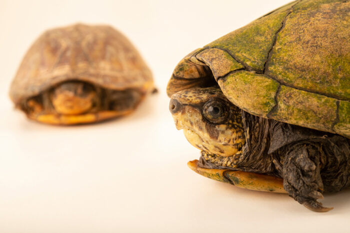 Photo: Two scorpion mud turtles (Kinosternon scorpioides scorpioides) at Fundacao Jardim Zoologico de Brasilia.