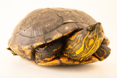 Photo: A D'Orbigny's slider (Trachemys dorbigni) at BioParque do Rio.