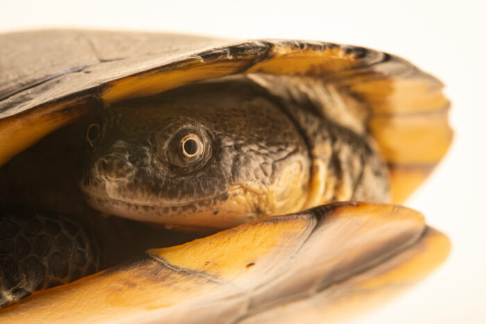 Photo: A Brazilian radiolated swamp turtle (Acanthochelys radiolata) at BioParque do Rio.