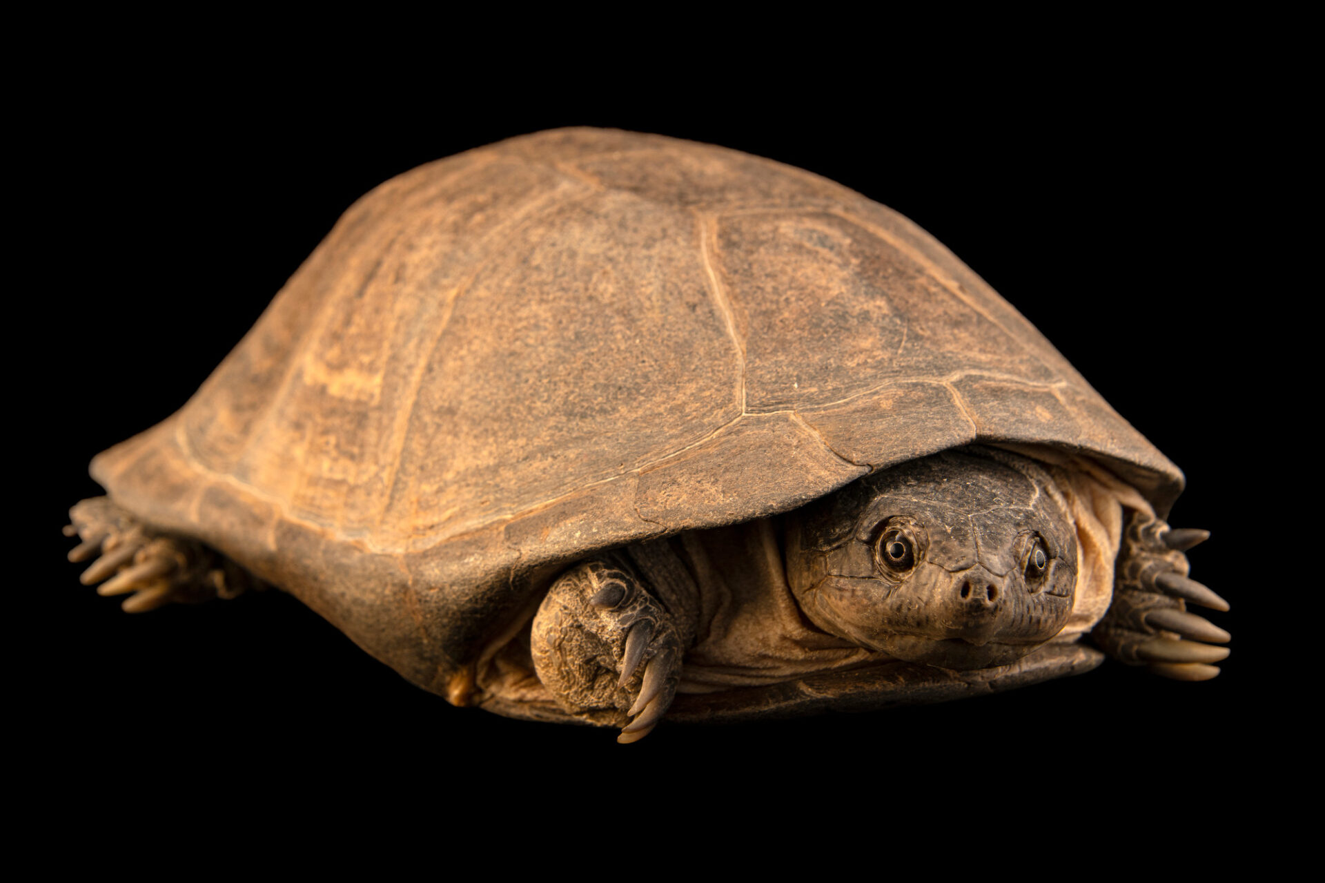 Photo: A West African mud turtle (Pelusios castaneus) at Omaha's Henry Doorly Zoo and Aquarium.