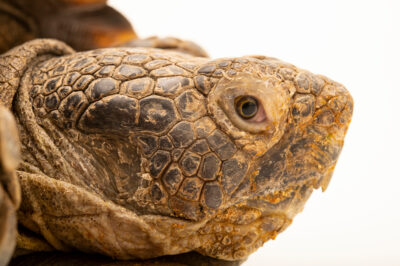 Photo: A California desert tortoise (Gopherus agassizii agassizii) named Flower, at California Science Center in Los Angeles, California.
