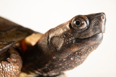 Photo: An enigmatic leaf turtle (Cyclemys enigmatica). This species is new to science.