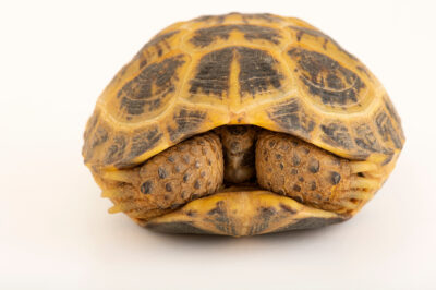 Photo: A Tunisian tortoise (Testudo graeca nabeulensis) at Prague Zoo. This species is listed as vulnerable by IUCN. This animal is the offspring of parents that were confiscated from the pet trade via the Prague Airport.