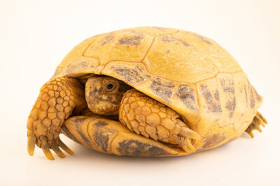 Photo: A female Afghan tortoise, Testudo horsfieldii kazachstanica) at Prague Zoo.