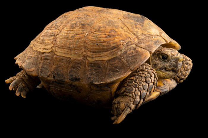 Photo: An Afghan tortoise, Testudo horsfieldii kazachstanica) at Prague Zoo.