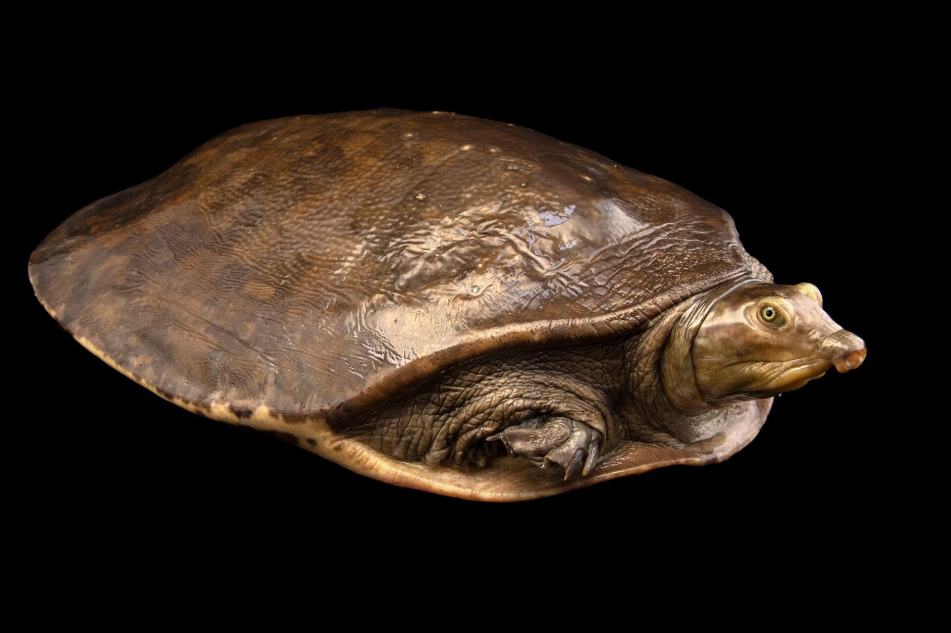 Photo: A Senegal flapshell turtle (Cyclanorbis senegalensis) at Safari Park Dvur Kralove.