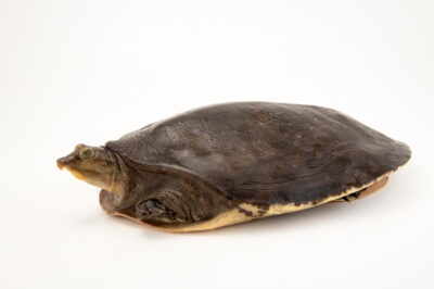Photo: A Senegal flapshell turtle (Cyclanorbis senegalensis) at Safari Park Dvur Kralove.