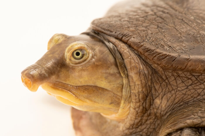 Photo: A Senegal flapshell turtle (Cyclanorbis senegalensis) at Dvůr Králové Zoo. This species is listed as vulnerable by IUCN.