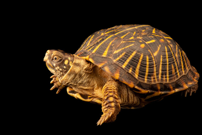 Photo: A female ornate box turtle (Terrapene ornata ornata) at Nebraska Wildlife Rehab.