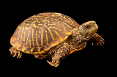 Photo: A male ornate box turtle (Terrapene ornata ornata) at Nebraska Wildlife Rehab.