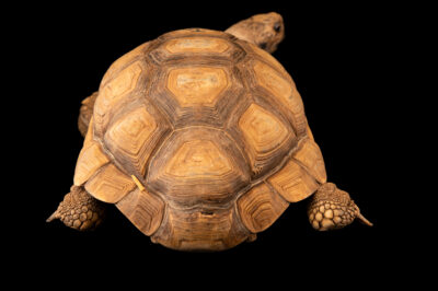 Photo: A Chaco tortoise (Chelonoidis chilensis) at the Santiago Zoo in Chile.