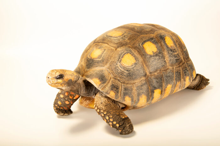 Photo: A South American yellow-footed tortoise (Chelonoidis denticulata) at the Santiago Zoo in Chile.