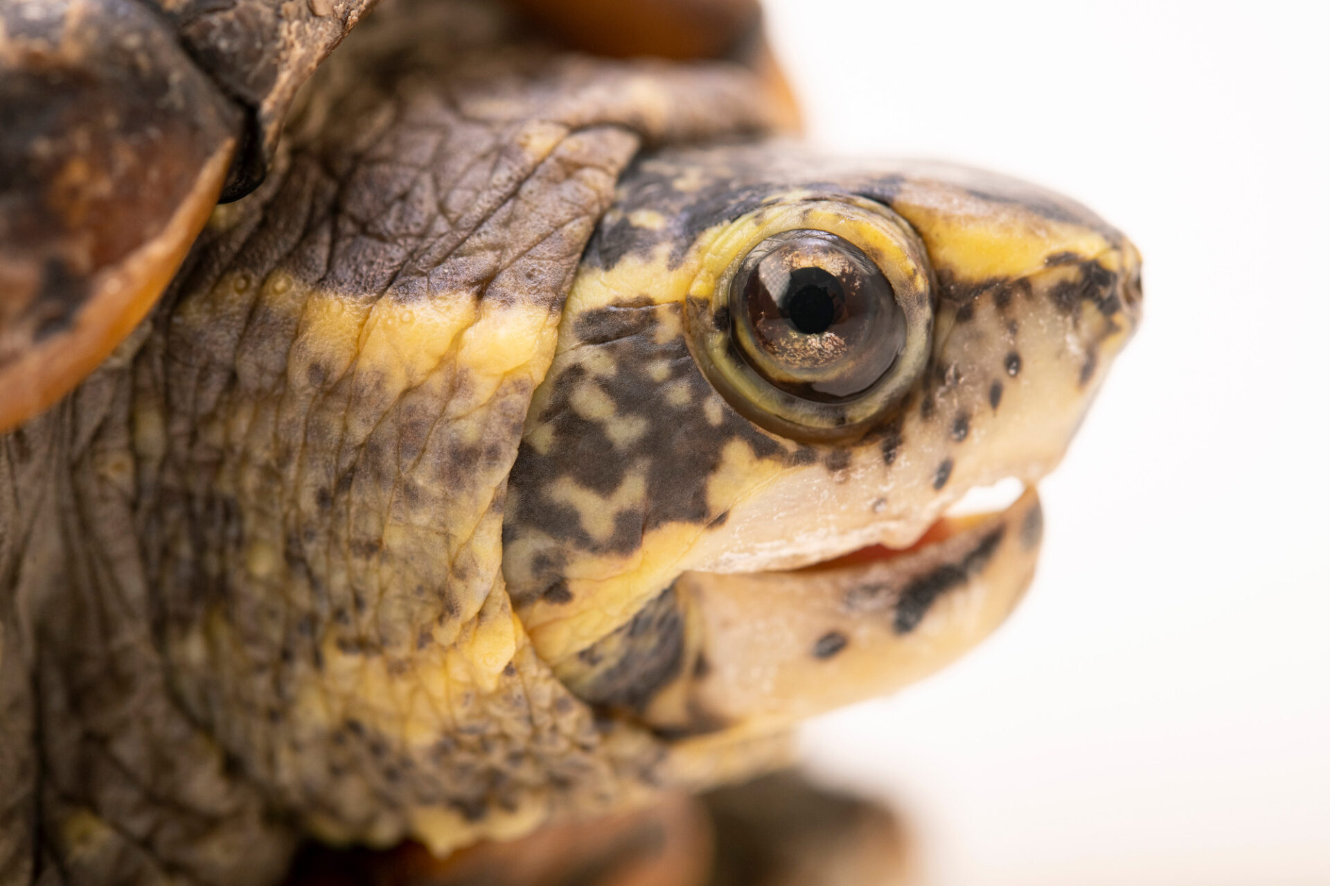 Photo: A striped mud turtle (Kinosternon baurii) named Madeline at the Brevard Zoo.