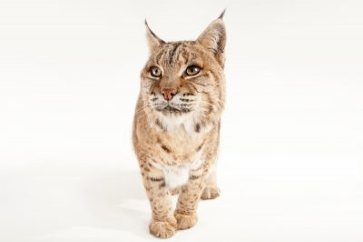 Picture of a Bobcat (Lynx rufus) named Keta at the Miller Park Zoo.