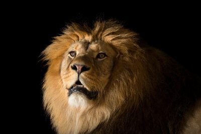Photo: A Barbary lion (Panthera leo leo) at the Plzen Zoo in the Czech Republic.
