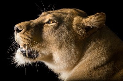 Photo: A female Barbary lion (Panthera leo leo) at the Plzen Zoo in the Czech Republic.