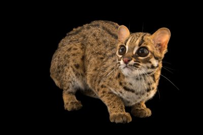 Picture of a Palawan leopard cat (Prionailurus bengalensis heaneyi) at the Plzen Zoo in the Czech Republic.