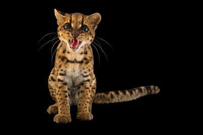 Photo: Oncilla (Leopardus tigrinus pardinoides) at Parque Jaime Duque near Bogota, Colombia.