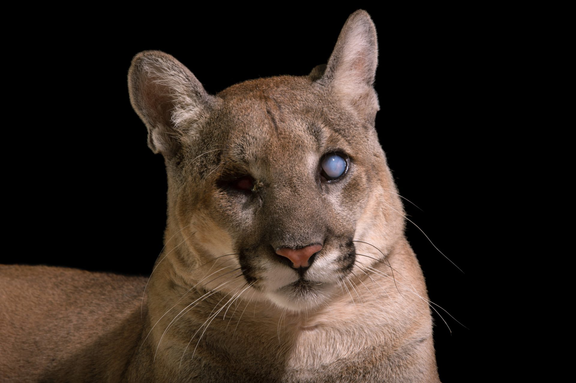 Uno, a federally endangered Florida panther (Puma concolor coryi) at the Naples Zoo. A gunshot wound caused Uno to go blind in 2014.