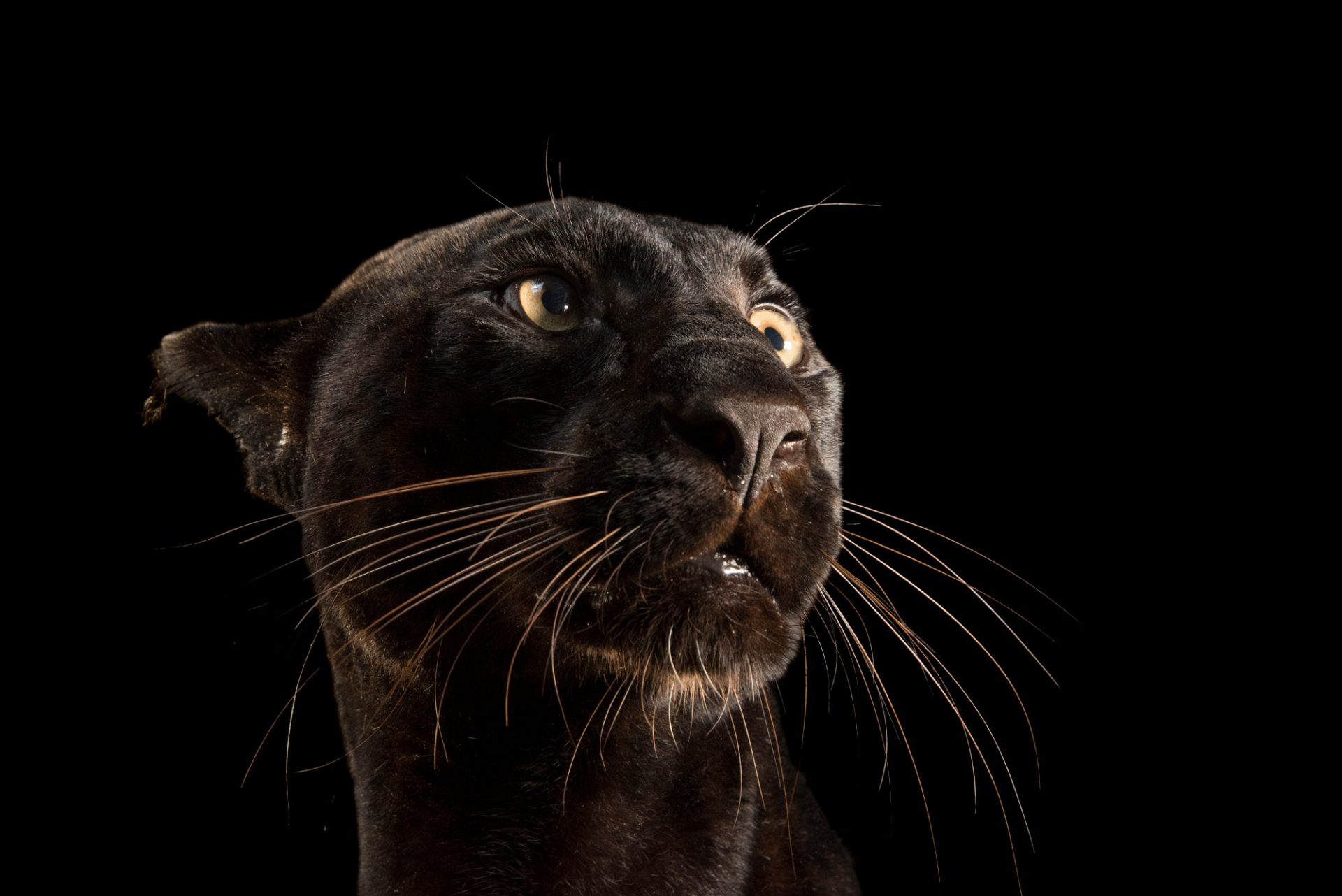Photo: Black phase Indochinese leopard (Panthera pardus delacouri) at Zoo Taiping.