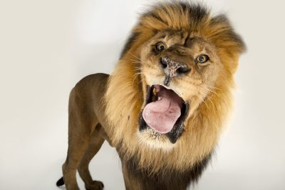 Photo: A male African lion (Panthera leo) at Omaha Henry Doorly Zoo.