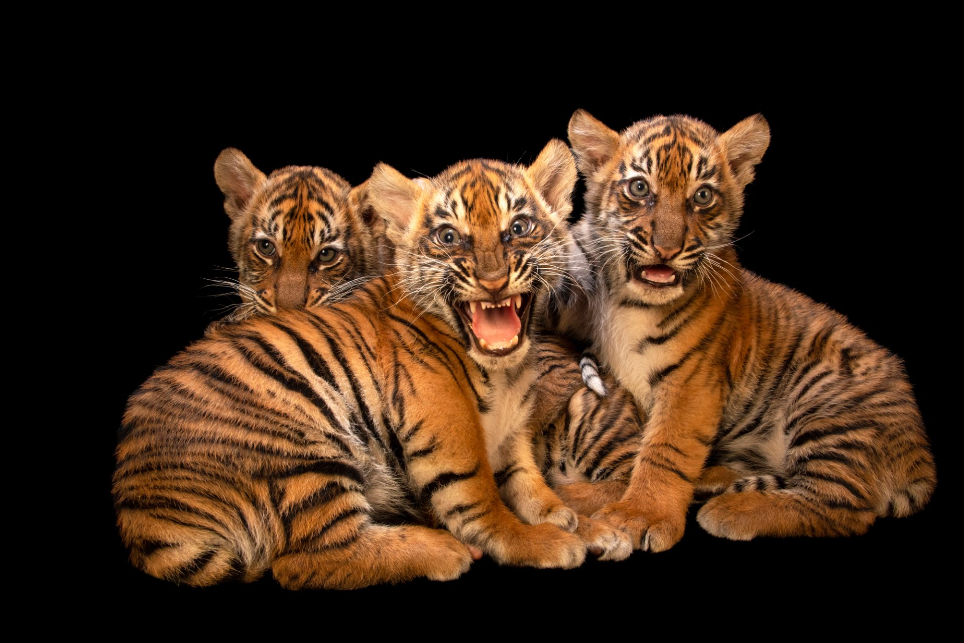 Photo: Sumatran tiger cubs (Panthera tigris sumatrae) at Berlin Tierpark.
