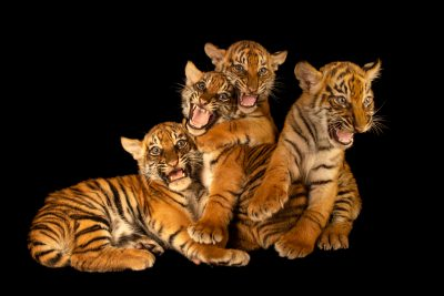 Photo: Sumatran tiger cubs (Panthera tigris sumatrae) at Tierpark Berlin.