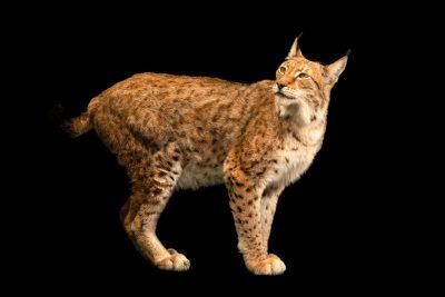 Photo: Sika, a Northern lynx (Lynx lynx lynx) at the Lisbon Zoo.