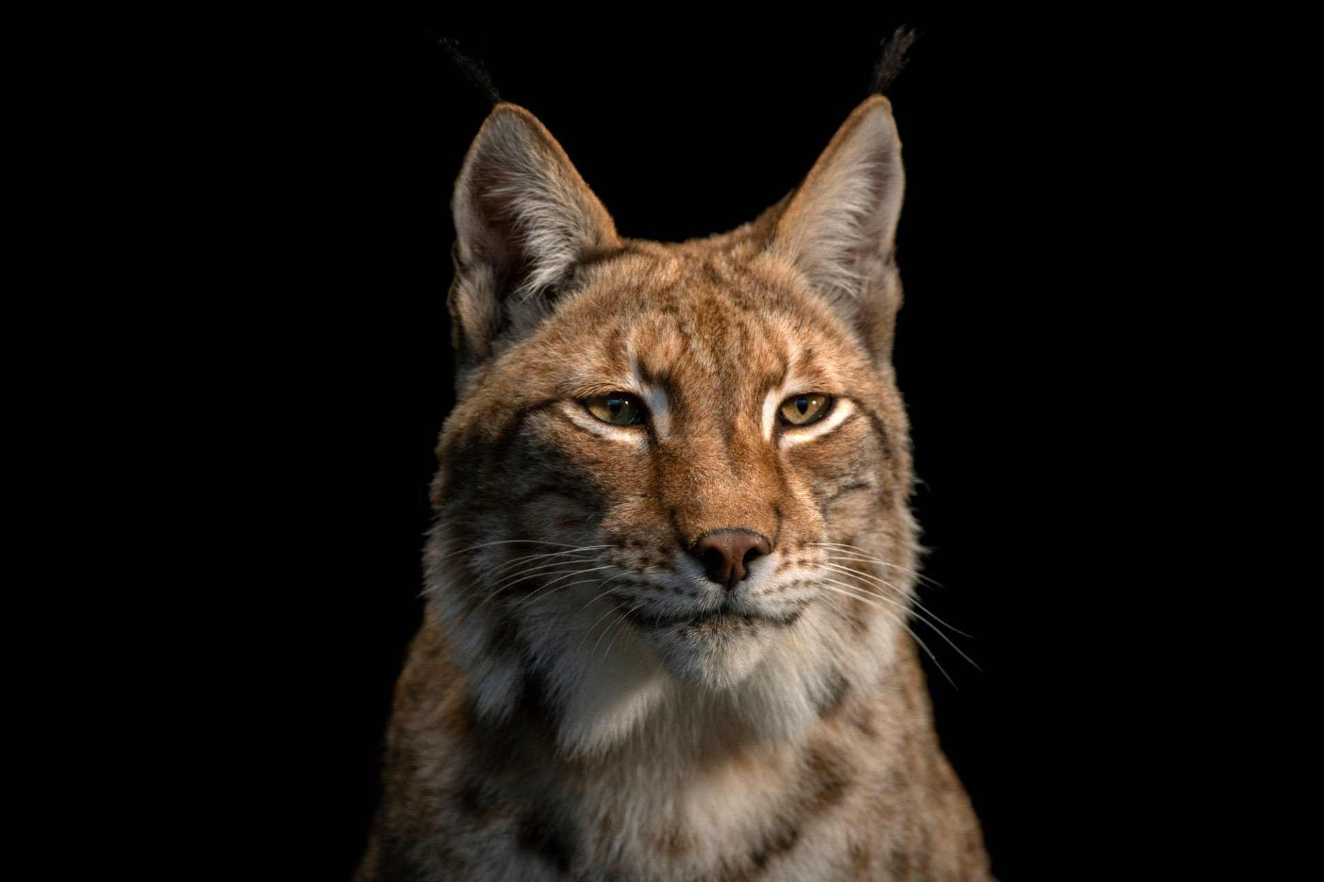 Photo: Sika, a Northern lynx (Lynx lynx lynx) at the Lisbon Zoo.