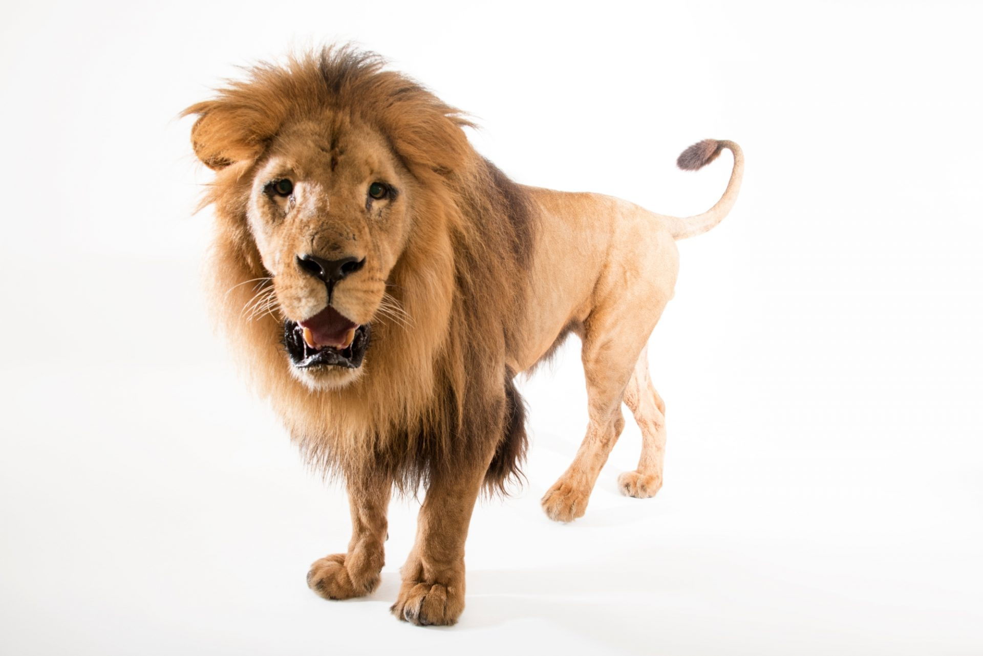 Photo: A Southwest African lion (Panthera leo bleyenberghi) at the Lisbon Zoo. This species is listed as vulnerable by the IUCN.